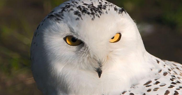 Chouette blanche, un animal nocturne dont nous vous parlons ici