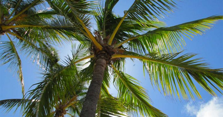 Comment couper un palmier ?