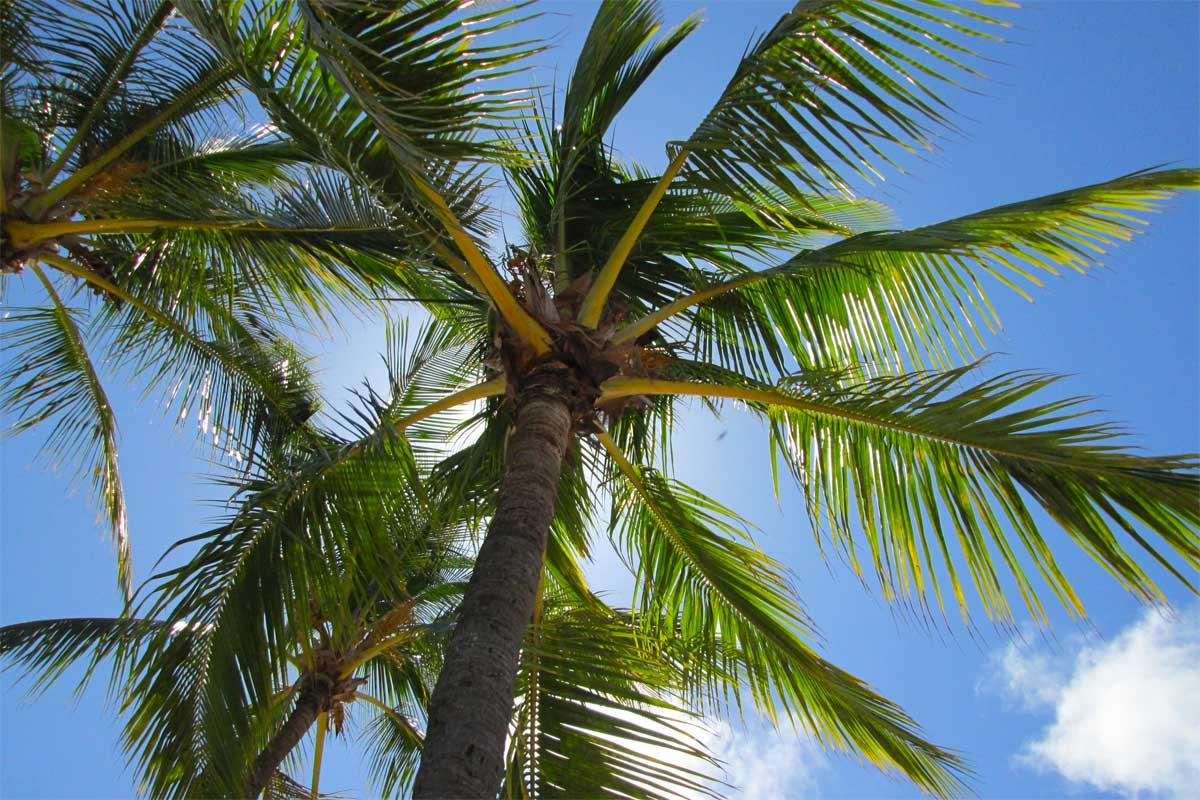 comment couper un palmier