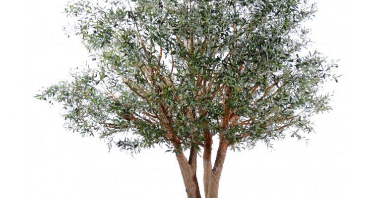 Comment faire une bouture d'olivier ?